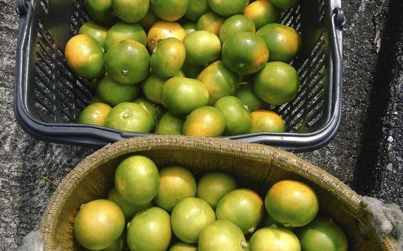 自然農のみかん作り オレンジ パーク ファーム O.P.F